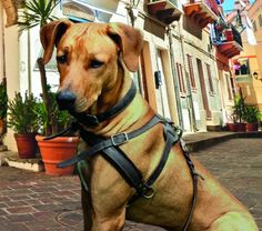 The Paws Mahal - Aspen Leather Dog Harness, $89.99 (http://www.thepawsmahal.com/aspen-leather-dog-harness/)