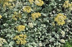 Image result for helichrysum petiolare