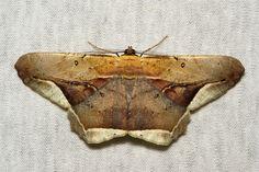 Geometrid Moth (Chorodna metaphaearia, Ennominae, Geometridae)   by John Horstman (itchydogimages, SINOBUG)