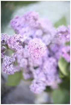purple lilacs, lilac bouquet. fresh cut flowers