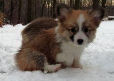Corgi pups in the snow, 3 of 7