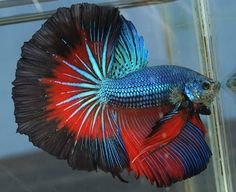 cool The Siamese fighting fish also known as betta, is a popular species of freshwate... by http://www.dezdemon-exoticfish.space/freshwater-fish/the-siamese-fighting-fish-also-known-as-betta-is-a-popular-species-of-freshwate/