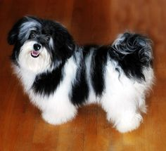 Havanese adult - WHO COULD RESIST THIS SMILEY FACE?