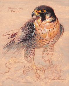 Bird Drawings, Animal Drawings, Peregrine Falcon, Bird Artwork, Owl Art, Wildlife Art, Pet Birds, Watercolor Paintings, Illustration Art