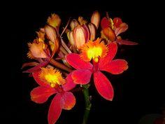 Orchid    D.Rosenkranz
