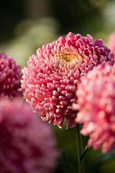 pearl-nautilus:  Chrysanthemum - Purple Godiva