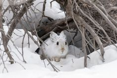 I'm Hare! Photo by Deena Sveinsson — National Geographic Your Shot