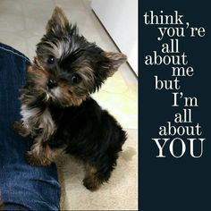 251 Best Yorkie Dogs Images Cute Baby Dogs Cute Puppies Yorkie Dogs