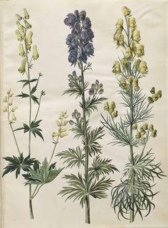 Aconitum vulparia; Aconitum napellus; Aconitum anthora, KKSgb2950/14