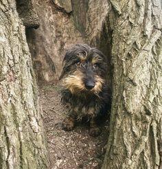 Dachshund Wirehaired Daschund, Dachshund Love, Fox Terrier, Terriers, Animal Gato, Wire Haired Dachshund, Old Dogs, Family Dogs, Ark