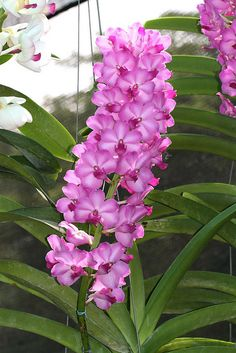 Inter-generic Orchid-hybrid [Abbreviated as Vasco in the horticultural trade]: Vascostylis (lawrenceae x Pine River) - the nothogenus for inter-generic hybrids between three orchid genera Ascocentrum, Rhynchostylis and Vanda (Asctm. × Rhy. × V.)