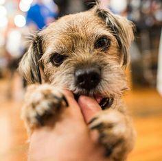 NOV 2015 Oscar, Border Terrier, Furever Pets with Broadway Books, Portland, OR Best Dog Breeds, Best Dogs, Dog Photos, Dog Pictures, Border Terrier Puppy, Terrier Dogs, Terriers, Funny Dogs, Cute Dogs