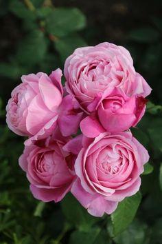 Hybrid Tea Shrub Rose: Rosa 'Soeur Emmanuelle' AKA 'Dieter Müller' AKA 'Chant Rose Misato' (France, 2004)