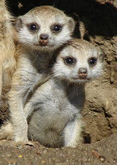 Super Super Cute Baby Meerkats