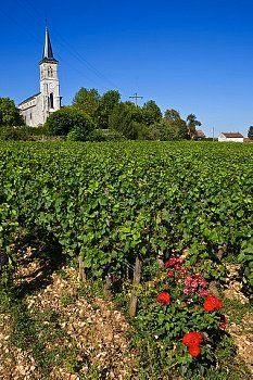 France, Cote d'Or, Cote de Beaune, Aloxe Corton, vineyard outside the church