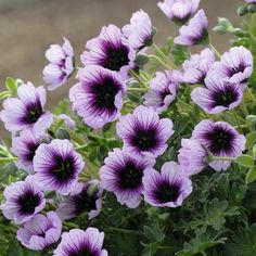 want to try growing a hardy geranium next summerGeranium Joyous Heart. want to try growing a hardy geranium next summer Perennial Geranium, Cranesbill Geranium, Geranium Plant, Hardy Geranium, Malva, Flowers Perennials, Planting Flowers, Flower Seeds, Flower Pots