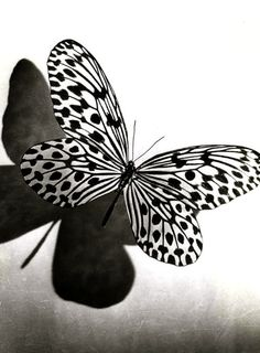 Black and White Butterfly ♥ - papillion ca. Papillon Butterfly, White Butterfly, Butterfly Art, Butterfly Kisses, Butterfly Species, Butterfly Photos, Black N White, Black And White Pictures, White Art