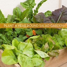 How to: Grow a Salad Garden in a 2' x 2' box.    Experiment: how many of these would I need to feed myself?    Note: if making more than one, leave out the carrots and radishes. Replace some chard with kale. Add green onions.