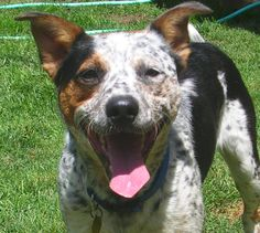 One of my dogs  . Pogle  .... a Heeler/pit mix.  Very, very energetic but we love him.