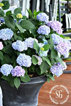 PERK UP YOUR PORCH AND PATIO THIS SPRING-#blue #hydrangeas in outdoor pots-stonegableblog.com