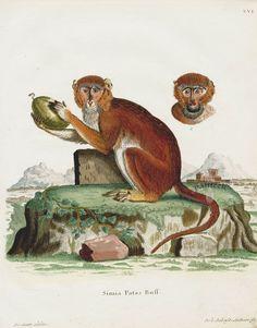 Monkey, Simia patas SCH16