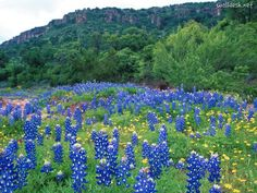 This is Texas's state flower- The Bluebonnet! From: Texas - Google Search