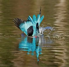 After a tough day of feeding chicks on a hot summers day...its time to take a swim to cool off! (Woodlands Kingfisher/Bosveldvisvanger)