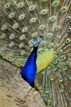 peacocks= brilliance