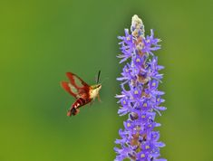 Hummingbird moths can easily be mistaken for hummingbirds because they look and act similar. Learn more about what makes these pollinators unique. Hummingbird Photos, Hummingbird Moth, Garden Bugs, Hawk Moth, How To Attract Hummingbirds, Watercolor Artwork, Interesting Facts, Amazing Nature, Planting Flowers