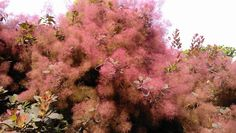 Buy Cotinus 'Grace', Smoke bush, online plants for sale, at Urban Jungle plant nursery via mail order. Shrubs For Sale, Bush Plant, Plant Nursery, Plant Sale, Trees And Shrubs, Late Summer, Abundance, Pink Purple, Garden Design