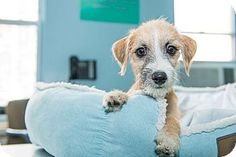 Lancelot is a mixed breed puppy up for adoption at the Humane Society of New York.