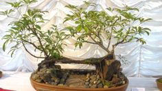 Bonsai plants on display at the Annual Bonsai Show 2013 at the All Saints Cathedral Hall in Shillong on Sept.19, 2013. (Photo: IANS)