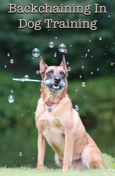Backchaining In Dog Training