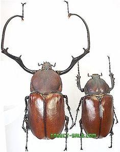 Insect-Sale.com - Euchirus longimanus longimanus - Euchirus-longimanus.jpg - insecto, insectos, mariposa, mariposas, bichos, escarabajos, polillas, insect, insects, butterfly, butterflies, bugs, beetles, moths, coleoptera, lepidoptera, entomology