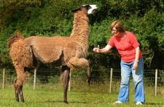 Image result for llama tricks Training, Image, Work Out, Education, Exercise, Work Outs