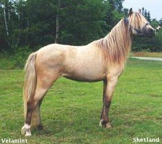 Silver Dapple, Chocolate Flax, Taffy Horse Color Genetics & Pictures...Silver on buckskin