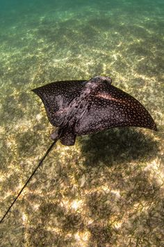 Spotted Eagle Ray - Snorkeling in Akumal Mexico.