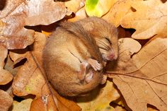 Torpid dormouse, look up snoring dormouse on youtube, insanely cute!