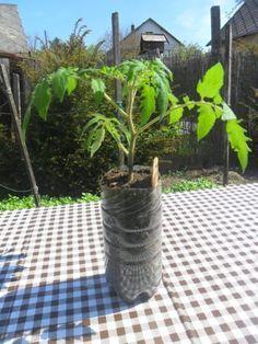 Így ültesd el a paradicsomokat – fotósorozat Vegetables, Fruit, Pets, Flowers, Garden, Plant, Vegetable Recipes, Royal Icing Flowers, Flower