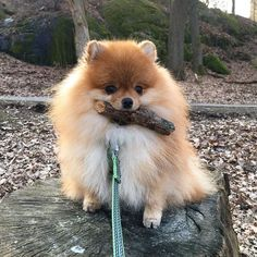 @diamond_pups is russian kennel of pomeranians. We delivery world wide and have many good reviews from our clients all over the world.