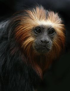 Golden-headed lion tamarin - by charlotte.morse