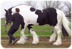 Galway Warrior drum horse stallion at Black Forest Shires.