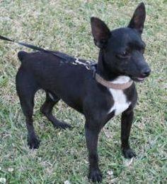 Petango.com – Meet Finn, a 1 year 10 months Miniature Pinscher / Chihuahua, Short Coat available for adoption in LAFAYETTE, LA