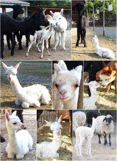 bílé lamátko Goats, Pocket, Animals, Animales, Animaux, Animal Memes, Animal, Goat, Animais