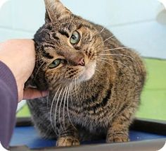 Westampton, NJ - Domestic Shorthair. Meet Nani 34105009, a cat for adoption. http://www.adoptapet.com/pet/17176344-westampton-new-jersey-cat