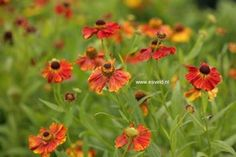 Helenium 'Can-Can'