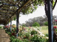 lovely vine-covered walkway with roses, Orange NSW