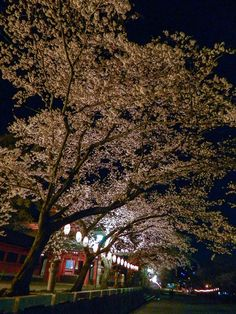 Going to see cherry blossoms at night