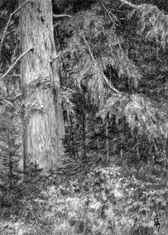 """Nature Study No 1"" by David King Hiking along in the wilderness your view is full of mighty spruce pine trees and a floor covered in wild bushes and fledgling evergreens. This charcoal drawing study is based on a photo I took during on of my many hikes in the Wasatch Mountains of Northern Utah.  #davidkingstudio art, drawing, charcoal, nature, wilderness, spruce, evergreen, forest"
