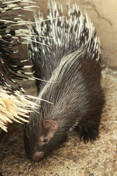 African Crested Porcupine by The Calgary Zoo on Flickr.
